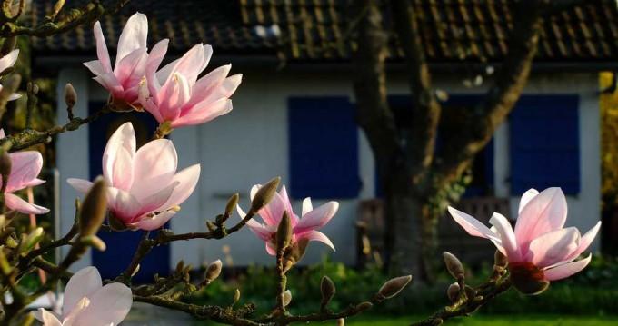 magnolia01
