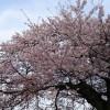 今年もやっとゆっくり桜を見ることができました